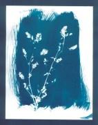 cyanotypes fleurs - 12