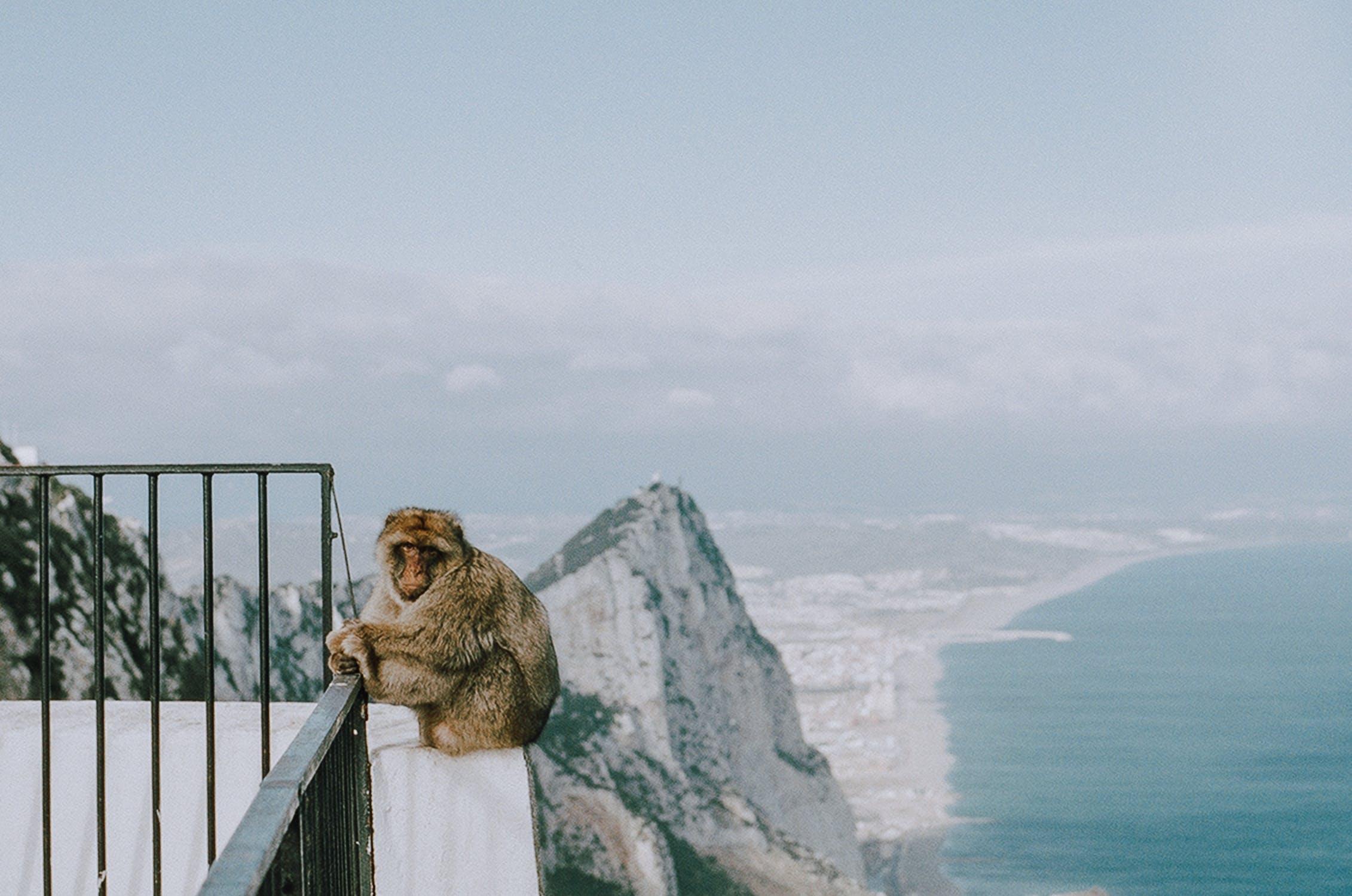 Singes de Gibraltar