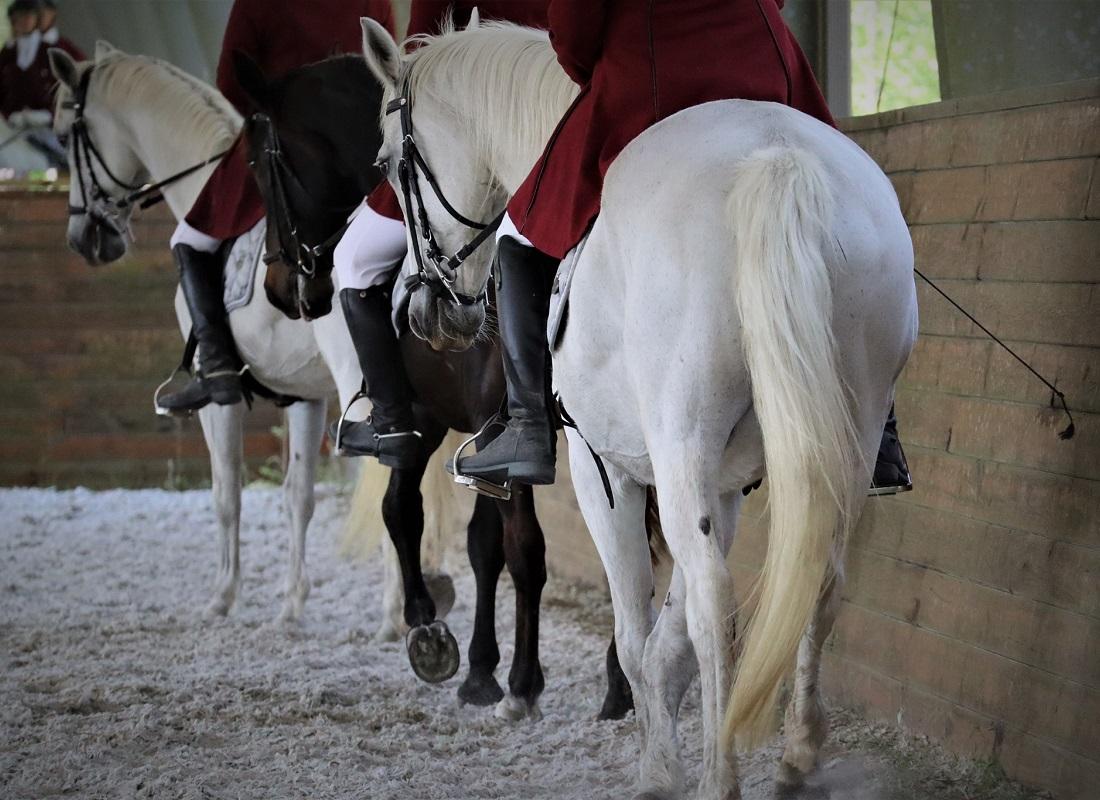 three Lipizzan horses in a row