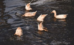 A flock of ducks swimming and diving in a pond at Tempus Renatus Farm