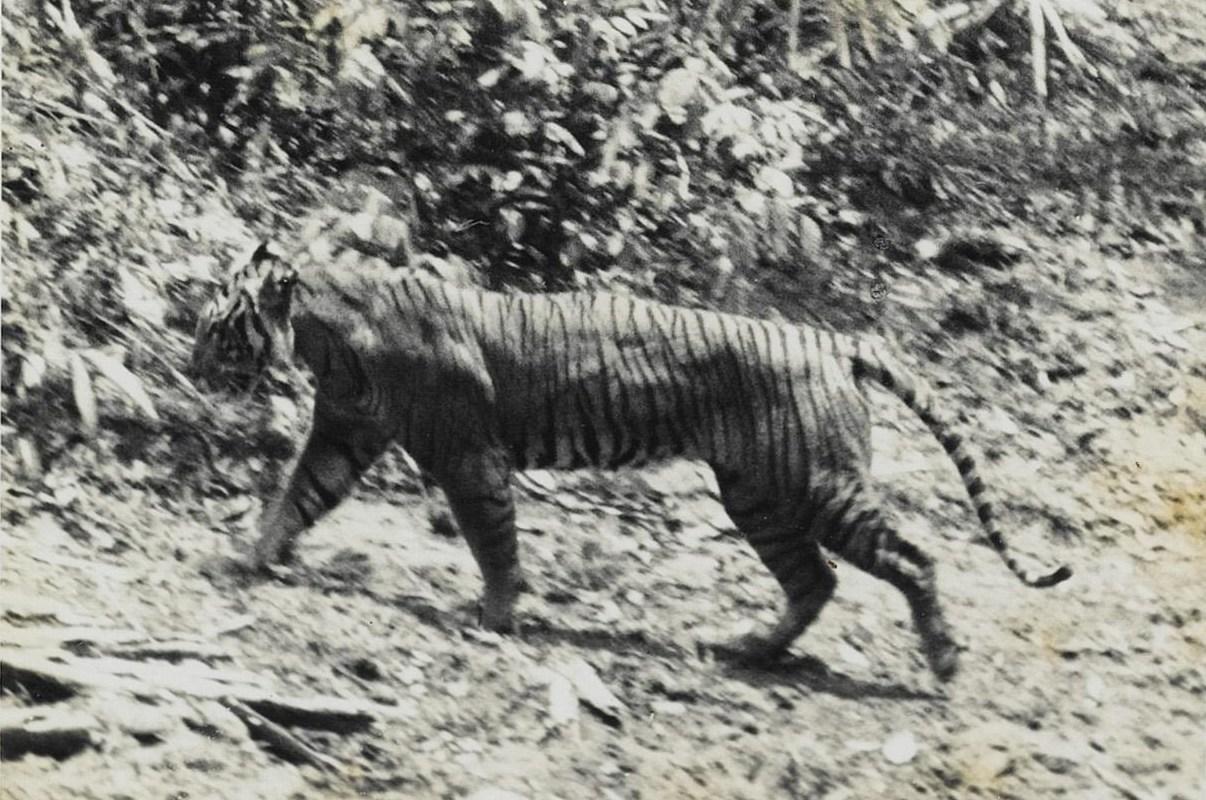 Panthera tigris sondaica (Harimau Jawa)