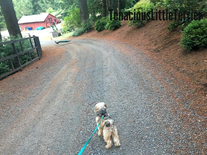 Loose leash walking for dogs