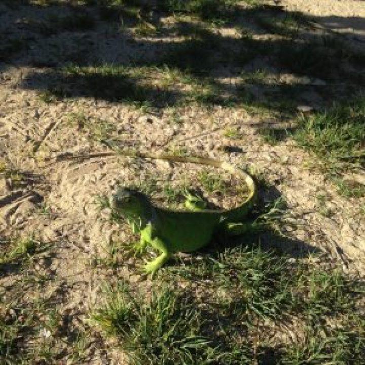 iguanes ilet pinel st martin
