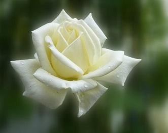 rose-blanca