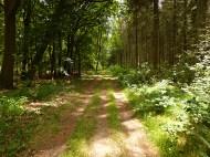 path pine trees