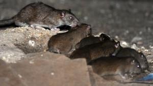 como identificar una plaga de ratones