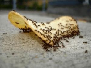 hormigas comiendo