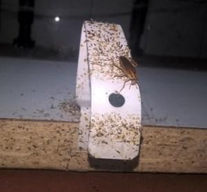 Cucaracha-alemana-en-muebles-cocina