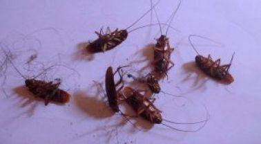 exterminar cucarachas