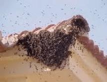 abejas en tejas