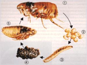 Como acabar con las pulgas