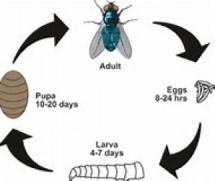 ciclo de la mosca