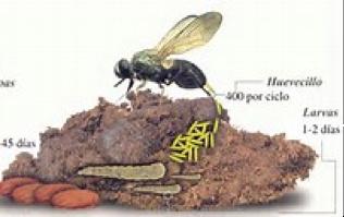 ciclo de las moscas