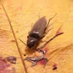 como es la carcoma, imagen del insecto