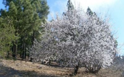 Santiago del Teide Almond Blossom Route – 2020 programme of walks