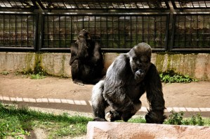 Angry Gorilla Monkey is the Strongest Animal of Zoo Apes