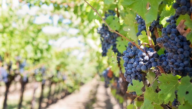 XXV Domingo durante el año: los obreros de la viña