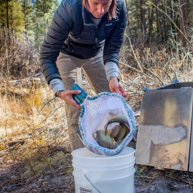 New Mexico Department of Game and Fish Gila trout biologist Jill Wick loads Gila trout for dispersal in Mineral Creek from helitank photo Craig Springer USFWS resized