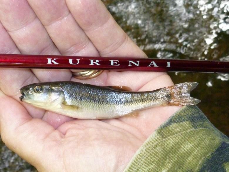 Seiryu - Chris Stewart - Kurenai Creek Chub