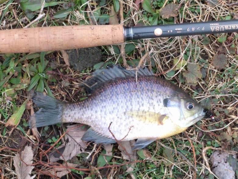 Jack Harford - Tenkara Rod Pond Fishing - Bluegill