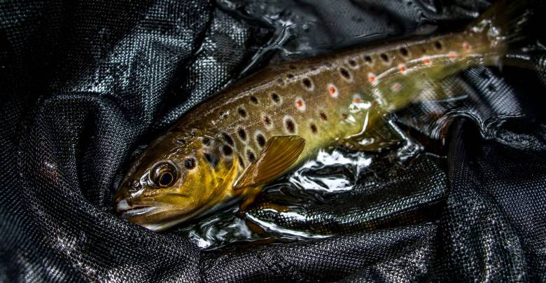 Paul Gaskell - Japanese Tenkara Western Rivers - Brown Trout