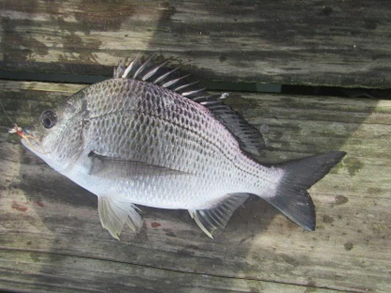 Bream Tenkara Rod - Tenkara Angler - Dean Price - Fish