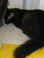 Jasper - Domestic Long Hair. Male Age 1-1/2