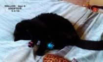 Willow Age 6 - Adopted 5-3-13. Special Needs - Older kitty/Canine Teeth Only.