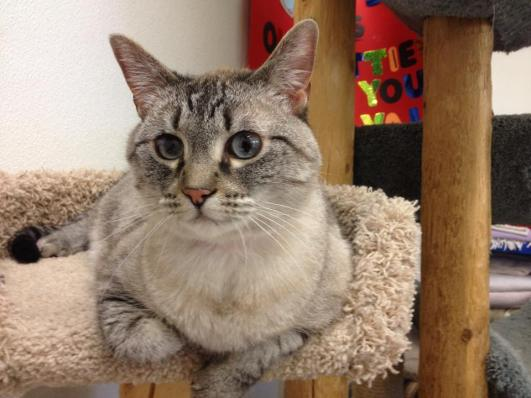 Betty Lou - 6 year old Siamese/Silver Tabby mix with sky blue eyes!