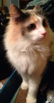Crystal, Age 3 - Calico Mix Domestic Long Hair