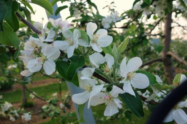 りんごの花 果樹園にて (5)