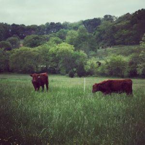 Katharos-Mobgrazing Cattle