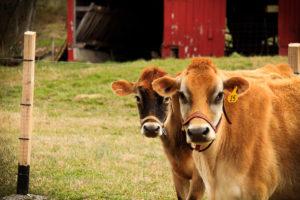 covenant farm-2cows