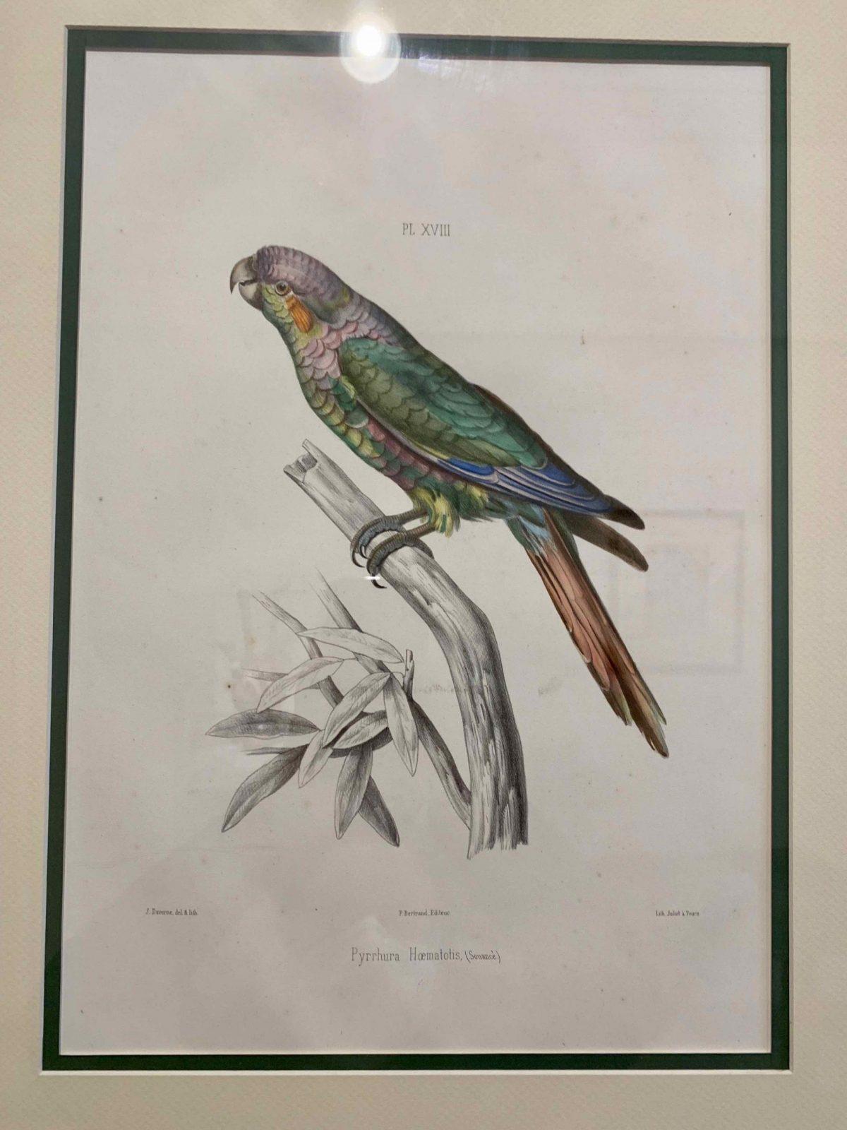 Pyrrhura Hoematotis, PL. XVIII (1857) Jean Francois Michael Daverne