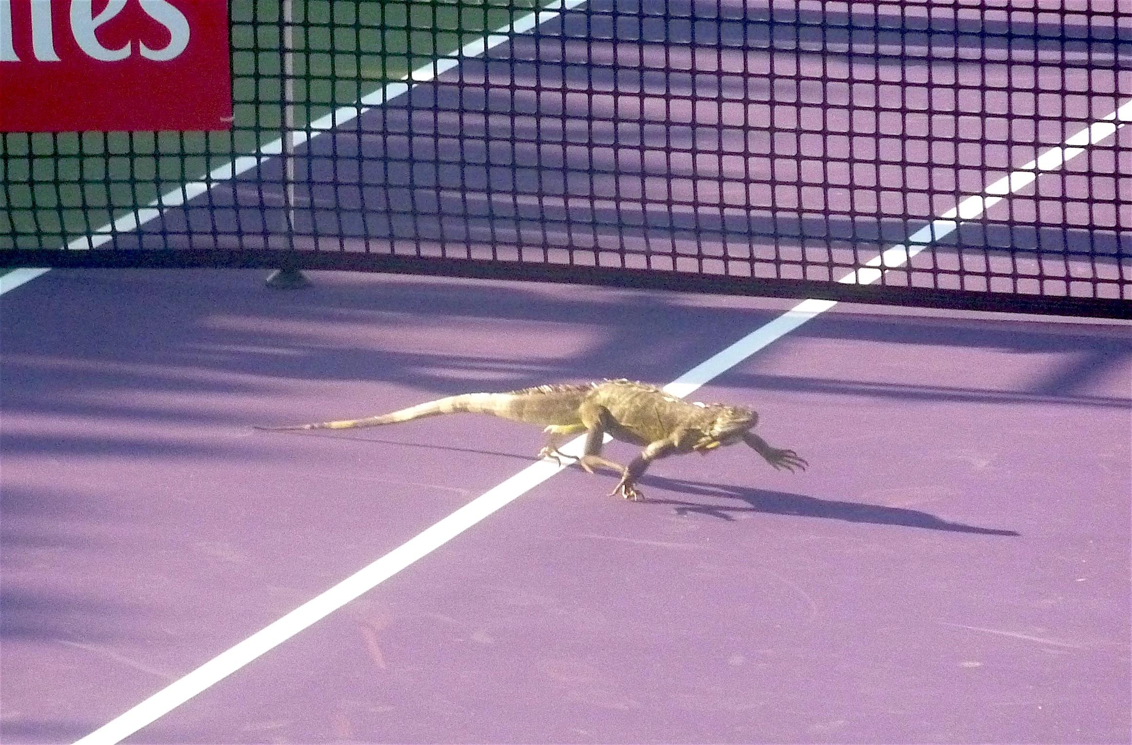 Iguana running 2