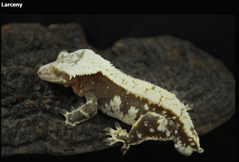 red and cream harlequin pinstripe crested gecko with red in the dorsal and white spots along the upper flanks absolute stunning breeder male from gecko haven