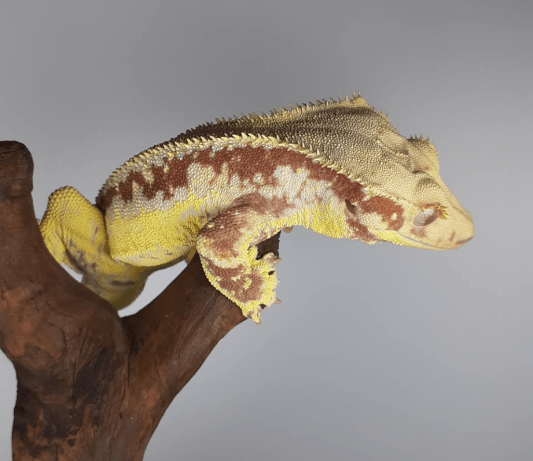 lily white crested gecko