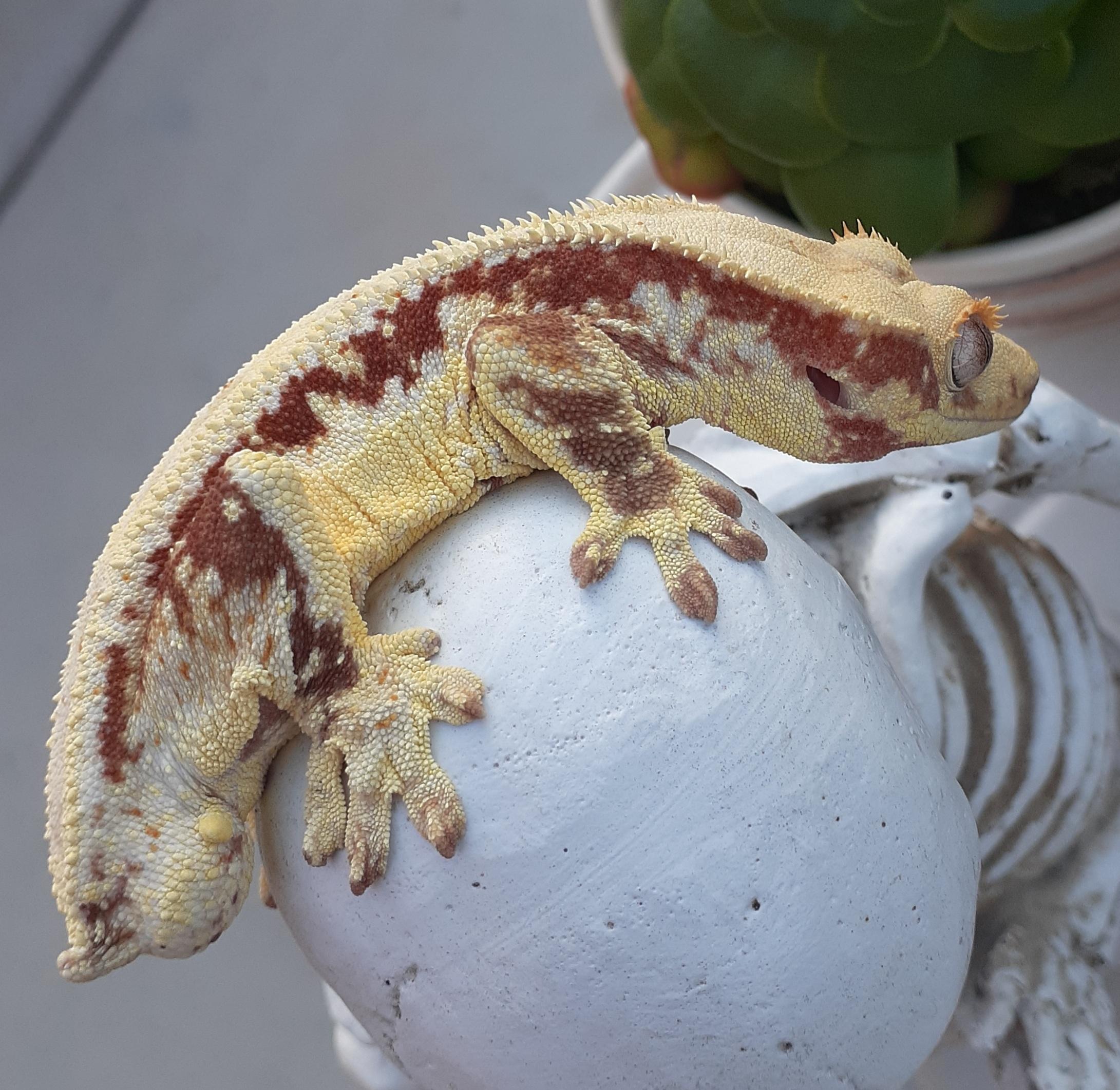 albino crested gecko