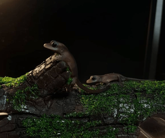 Two melanistic crested geckos