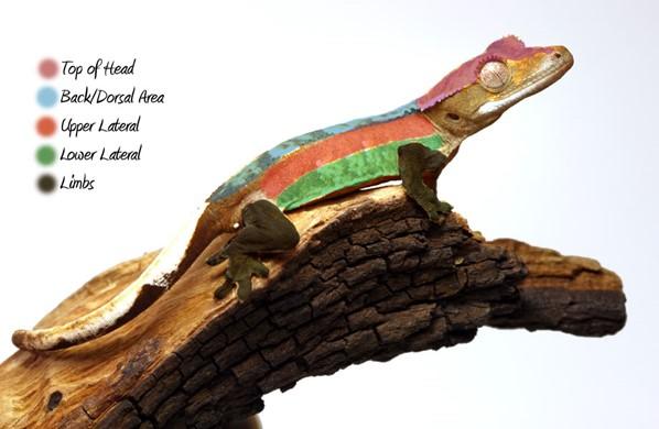 crested gecko morphs explained