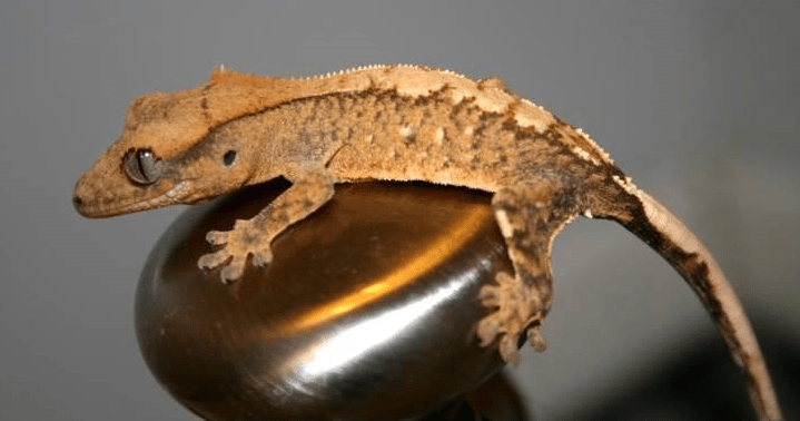 flame crested gecko morphs