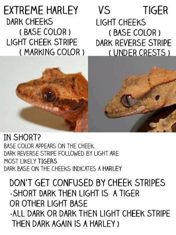Harlequin vs tiger crested gecko morphs