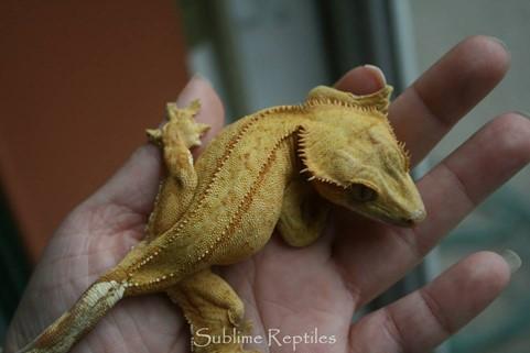 Reverse Pinstripe Crested Gecko Morphs