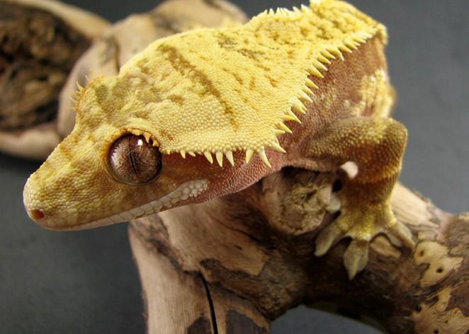 Crowned Crested Gecko Morphs