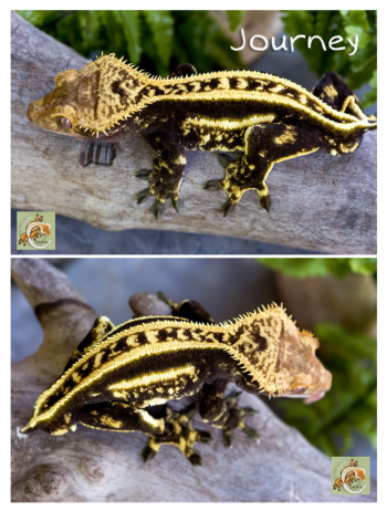 Quad stripe crested gecko with pinstripe on top