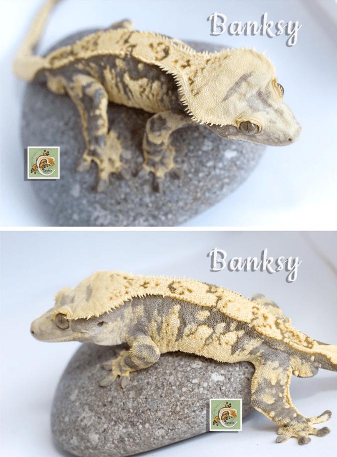 tailspinz geckos extreme harlequin