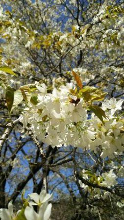 ヤマザクラやソメイヨシノなど、咲く時期の異なる様々な桜