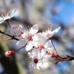 10 Jenis Varietas Bunga Sakura yang Harus Pecinta Jepang Ketahui