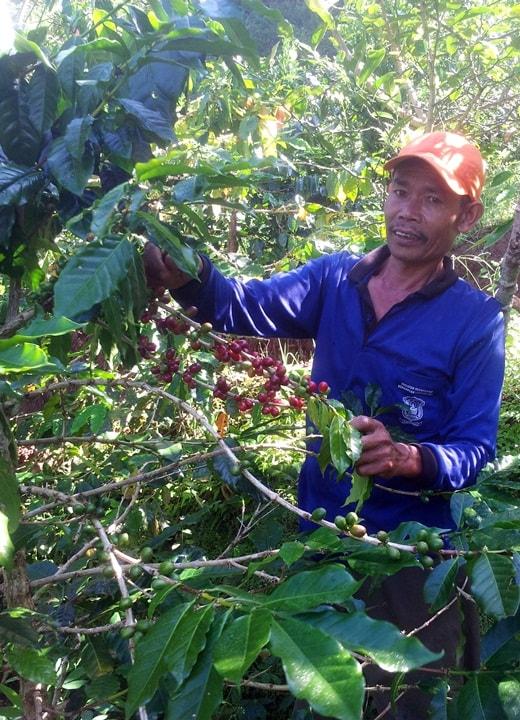 Foto: Pak Harjono saat memanen kopi Ratamba