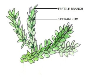 Plant Divisions: Lycopodiophyta | Tentative Plant Scientist